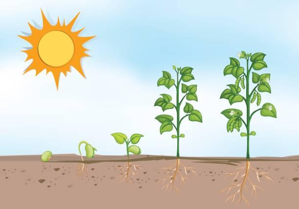 pflanze, die in den verschiedenen phasen - stoffwechsel stock-grafiken, -clipart, -cartoons und -symbole