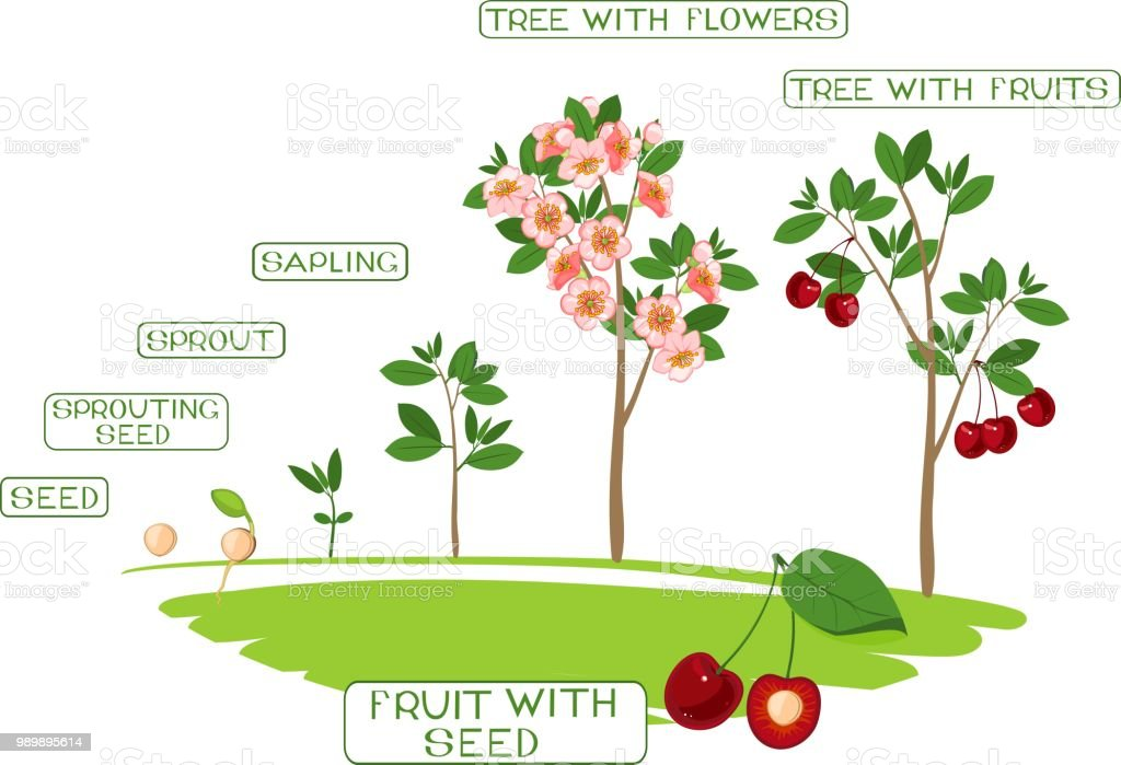 Plant Growing From Seed To Cherry Tree Plant Growth Stage Stock Illustration