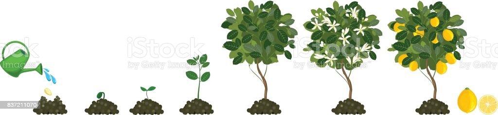Best Lemon Tree Illustrations  Royalty