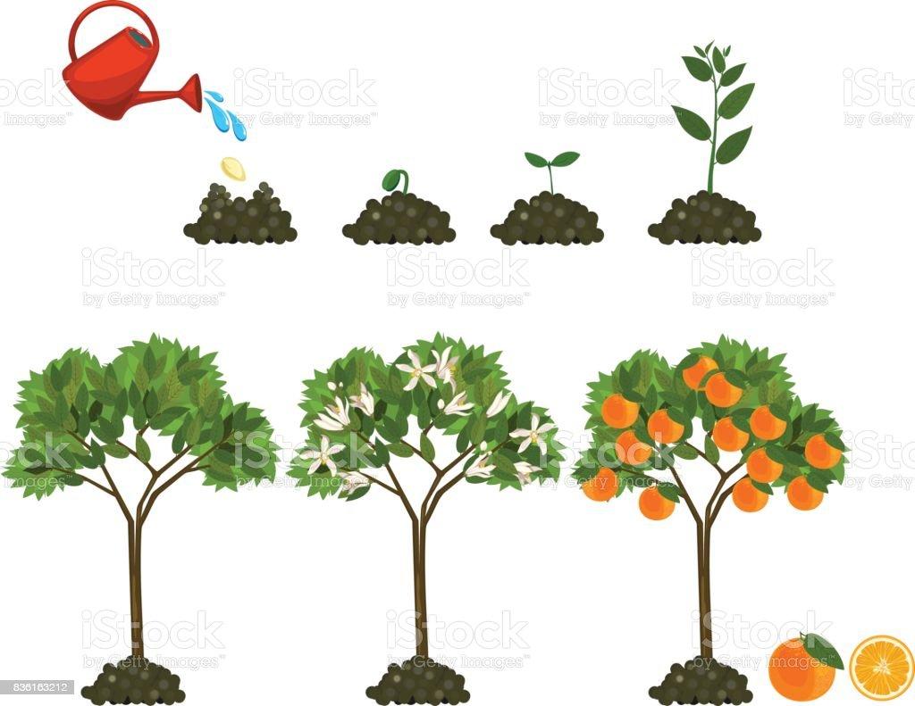 how to grow rowan trees from seed