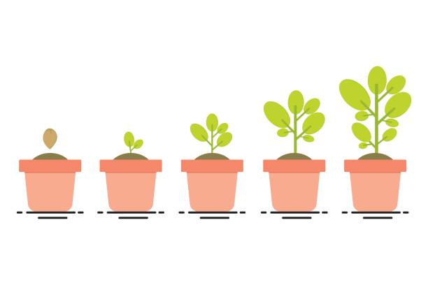 plant growing stages plant growing, seedling gardening plant, seeds sprout in ground, phases plant growin, evolution concept potted plant stock illustrations