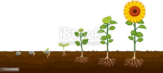 Plant growth progress diagramv illustration