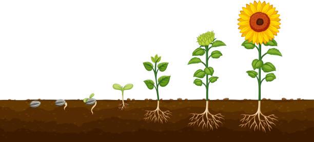 illustrations, cliparts, dessins animés et icônes de diagramv de progression de la croissance des plantes - sol caractéristiques d'une construction