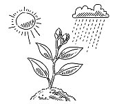 Hand-drawn vector drawing of a Plant Growth Concept with Sun And Rain. Black-and-White sketch on a transparent background (.eps-file). Included files are EPS (v10) and Hi-Res JPG.