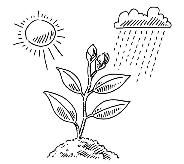 Plant Growth Sun And Rain Drawing Hand-drawn vector drawing of a Plant Growth Concept with Sun And Rain. Black-and-White sketch on a transparent background (.eps-file). Included files are EPS (v10) and Hi-Res JPG. environment stock illustrations