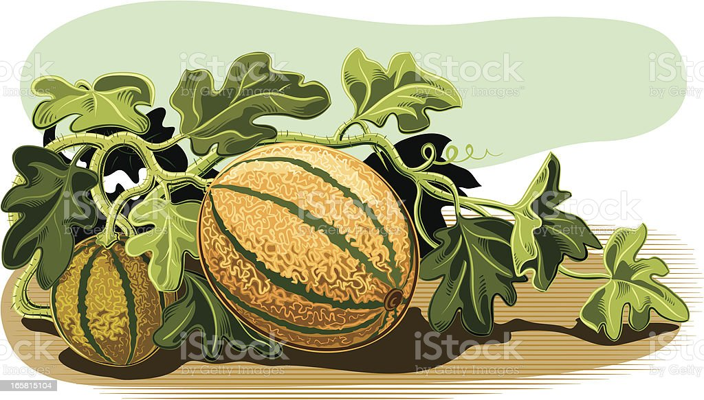 plant of melons vector art illustration