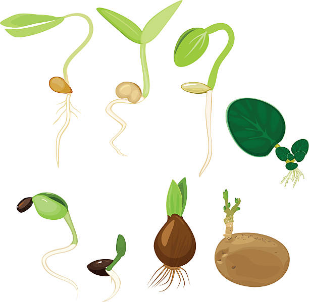 Best Germination Illustrations, Royalty-Free Vector ...