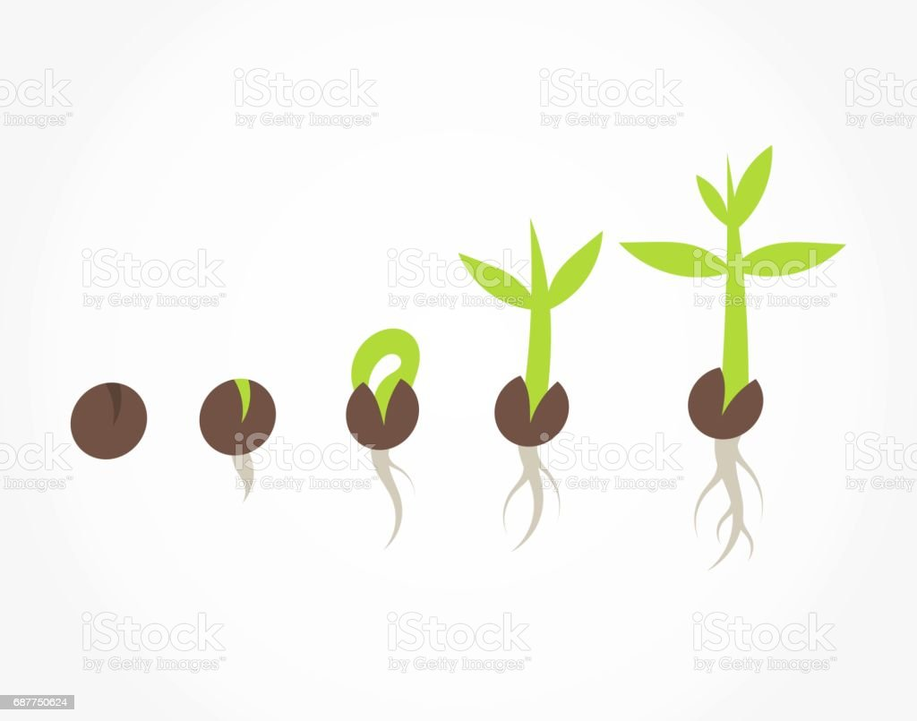 Plant seed germination stages vector art illustration