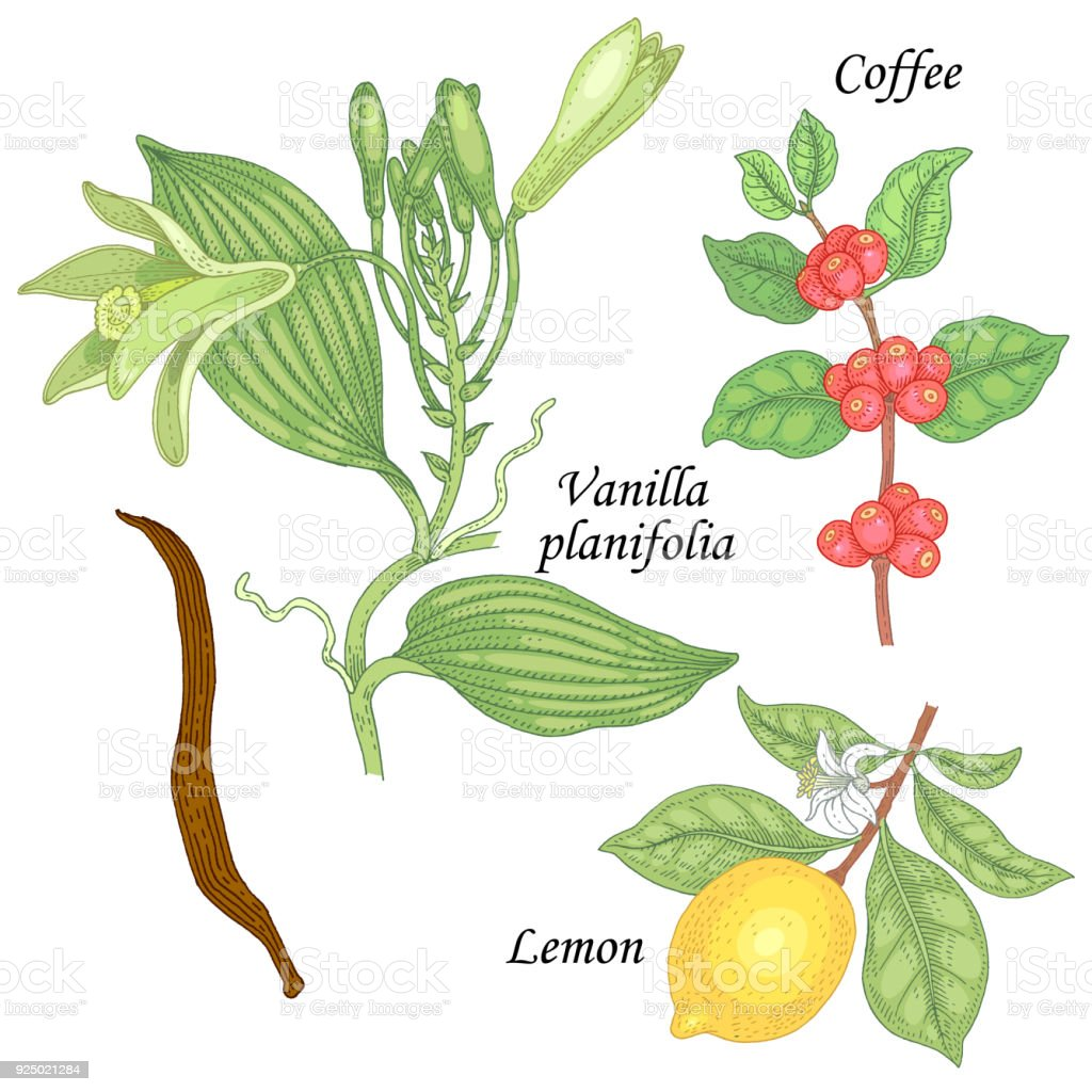 Plant Set Vanilla Lemon And Coffee Stock Vector Art & More Images of ...