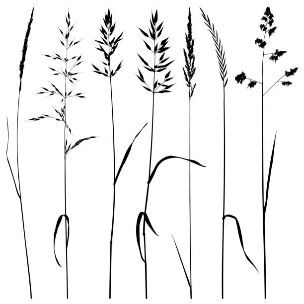 Plant silhouettes, meadow grass Set of plant silhouettes. Meadow grass, dry ears of grass. Detailed images isolated black on white background. Vector design elements. autumn silhouettes stock illustrations