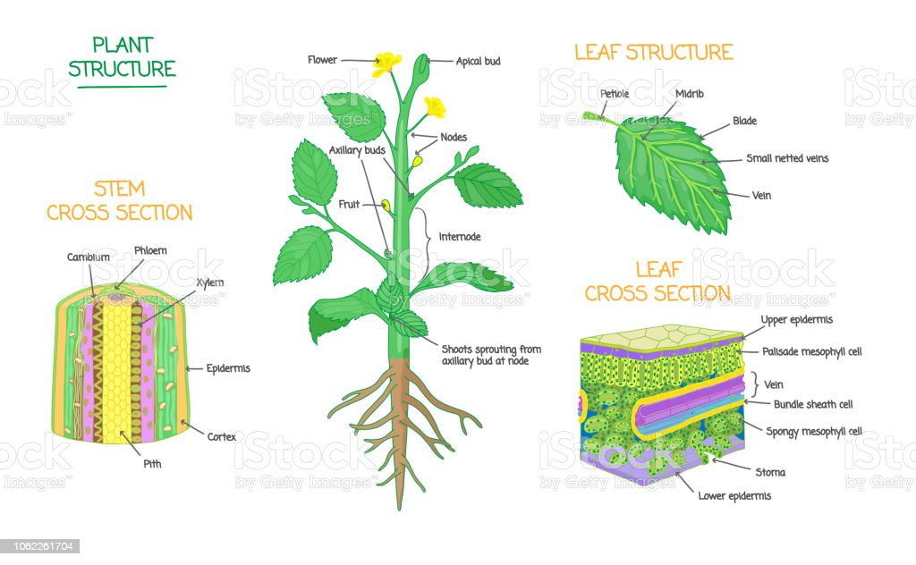 Plant Structure And Cross Section Botanical Biology Labeled