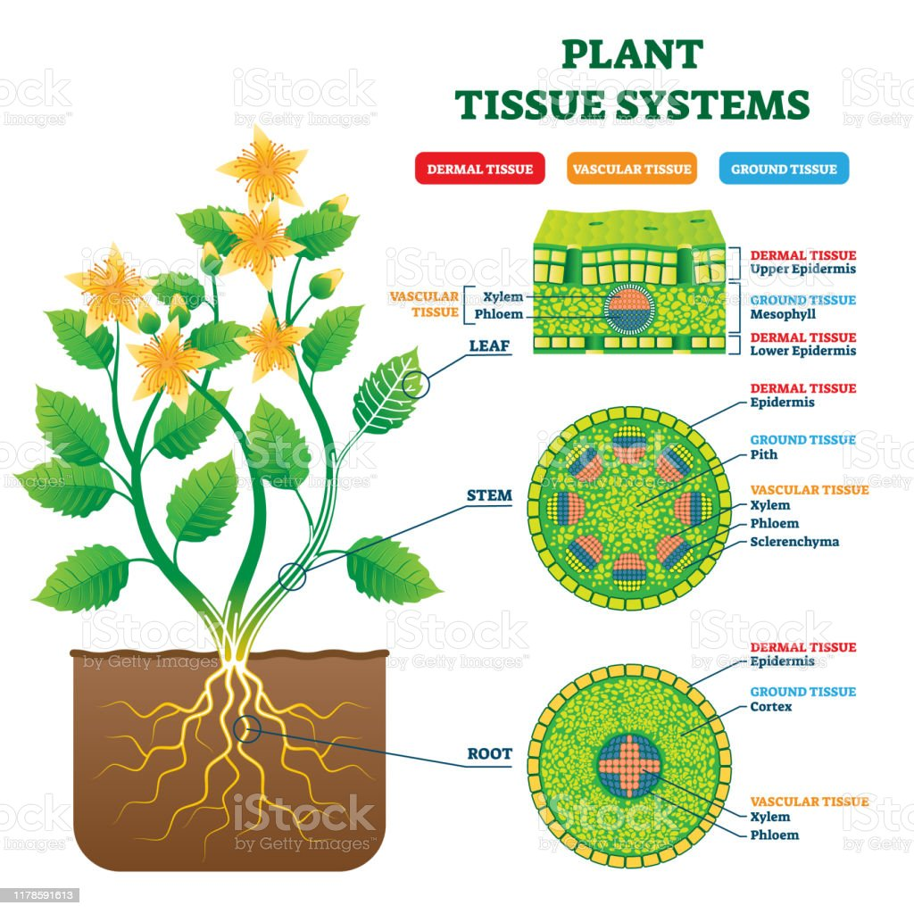 Plant Tissue Systems Vector Illustration Labeled Biology ...