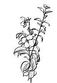 Anemone flower vector illustration