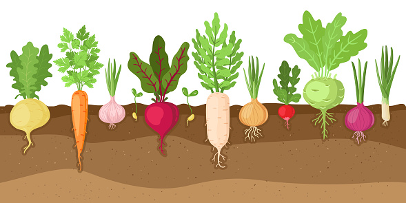 Planted vegetables. Cartoon root growing vegetables, veggies fibrous root system, soil vegetable root structure vector illustration set