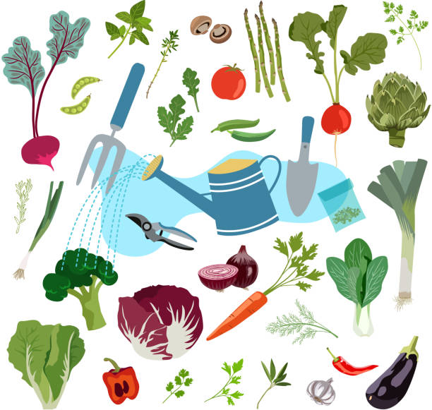 Planting and Harvesting of Fresh Vegetables Vector Illustration. This is an EPS 10 file. High resolution JPG and PNG file included. scallion stock illustrations