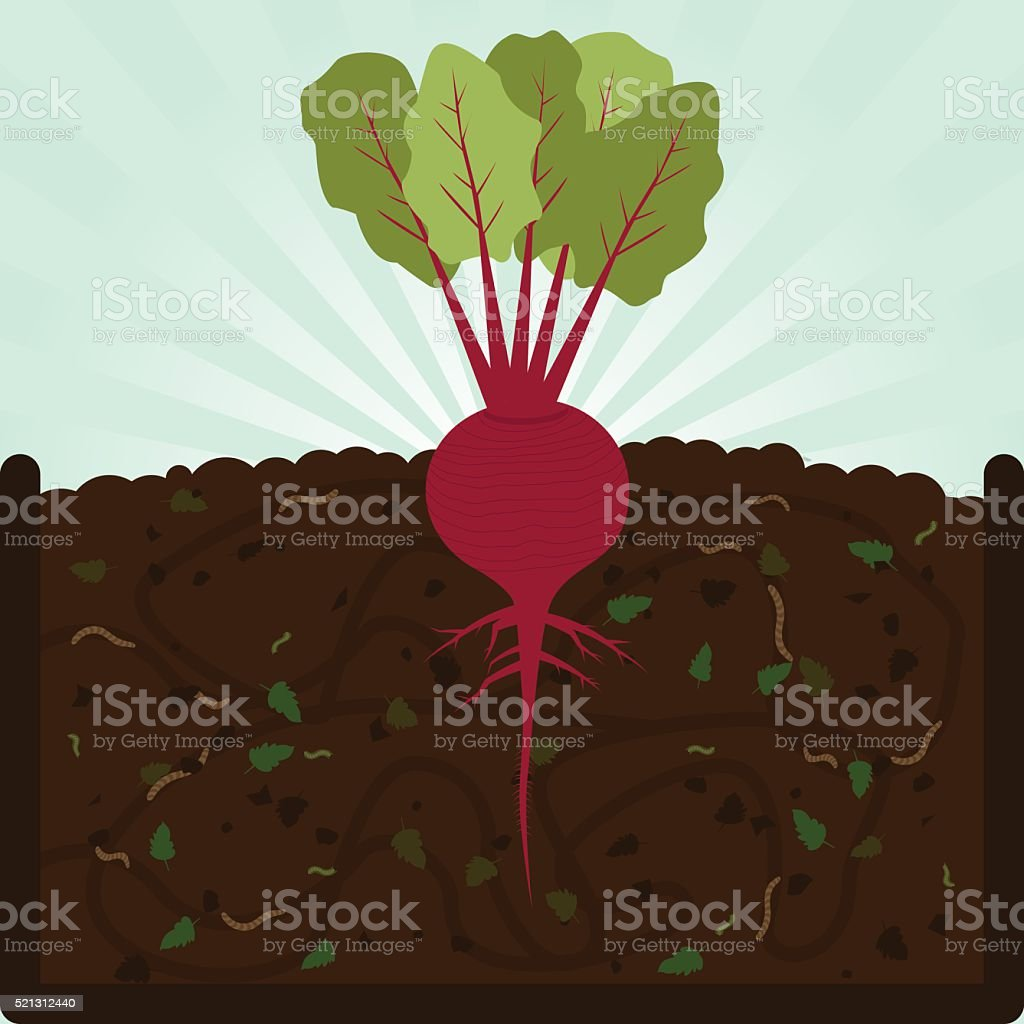 Planting beet and compost vector art illustration
