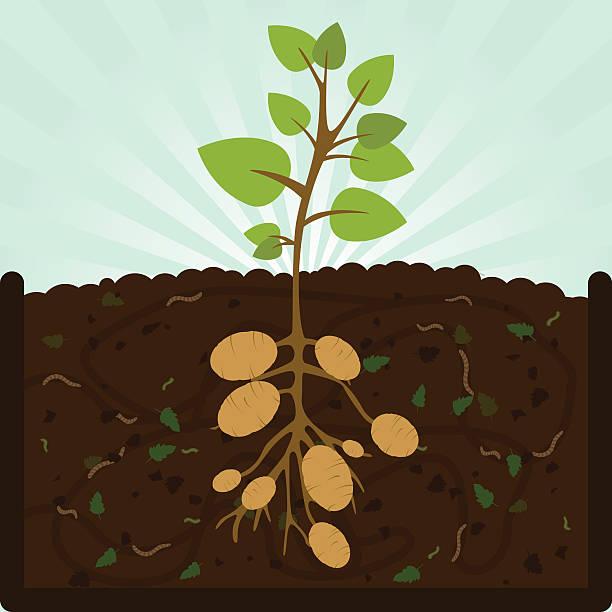 pflanzen kartoffeln und kompost - herbstgemüseanbau stock-grafiken, -clipart, -cartoons und -symbole