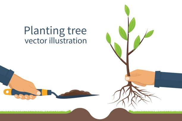 ilustrações de stock, clip art, desenhos animados e ícones de planting tree, sapling vector - plantar
