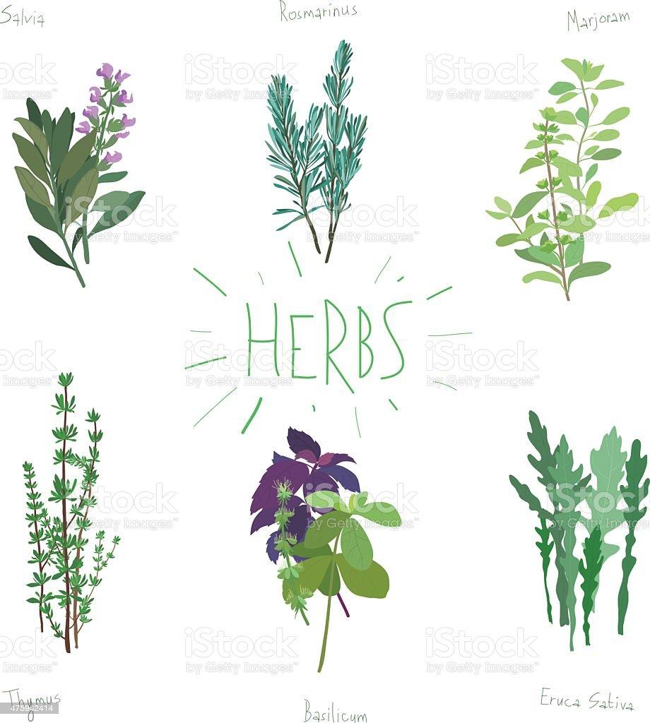 Plants and spices set - italian herbs vector art illustration