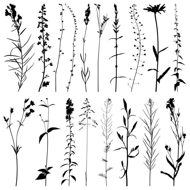Plants silhouette, vector images Set of plants silhouettes. Detailed images isolated black on white background. Vector design elements. shepherd's purse stock illustrations