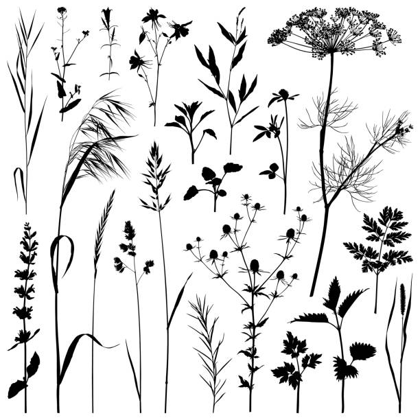 Plants silhouette, vector images Set of plants silhouettes. Detailed images isolated black on white background. Vector design elements. dill stock illustrations