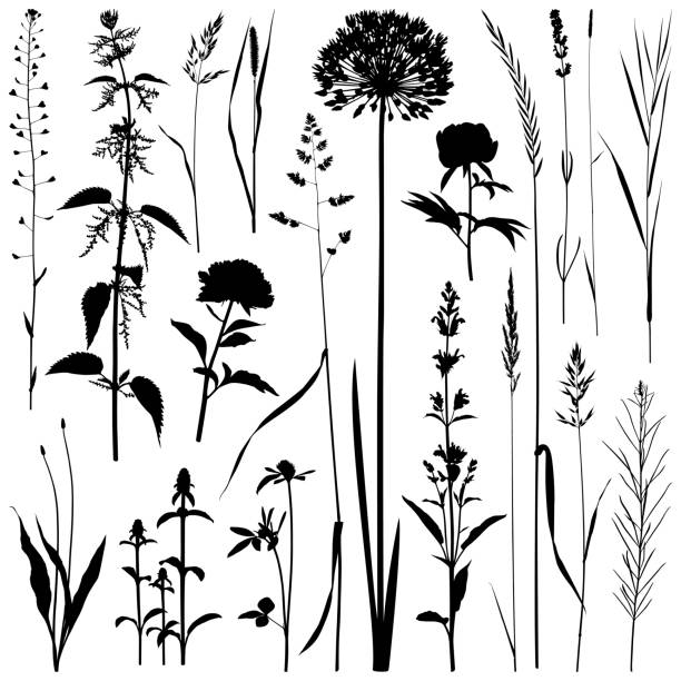 Plants silhouettes, vector images Set of plants silhouettes. Detailed images isolated black on white background. Vector design elements. One color - black. shepherd's purse stock illustrations