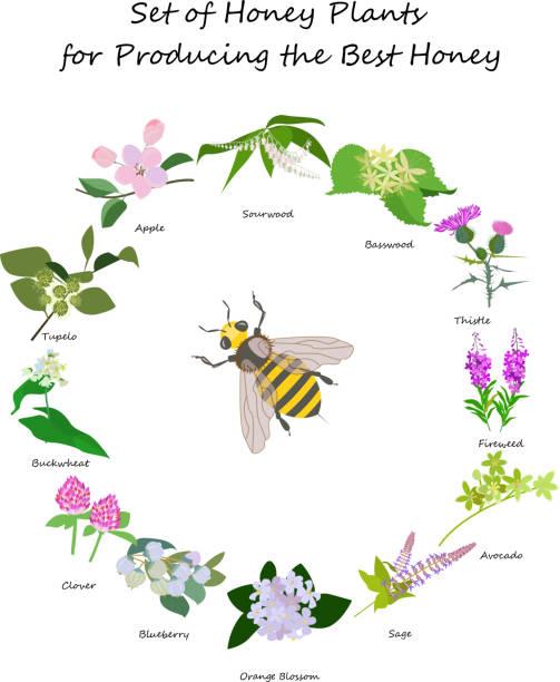 illustrazioni stock, clip art, cartoni animati e icone di tendenza di planty set for produsing the best honey - erba medica
