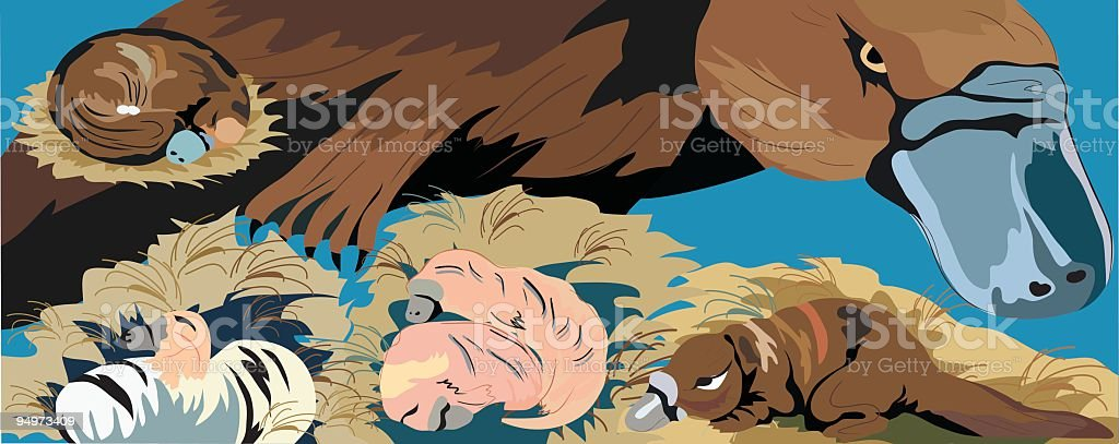 Platypus Life Cycle royalty-free stock vector art