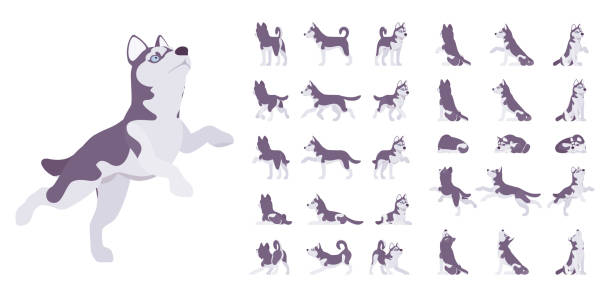 Playground_Set_02 Husky dog set. Northern sled, Siberian breed, cute family companion for active fun and home security. Vector flat style cartoon illustration isolated on white background, different views and poses husky dog stock illustrations