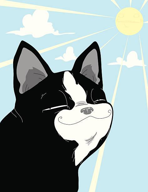 Pleased Boston Terrier vector art illustration