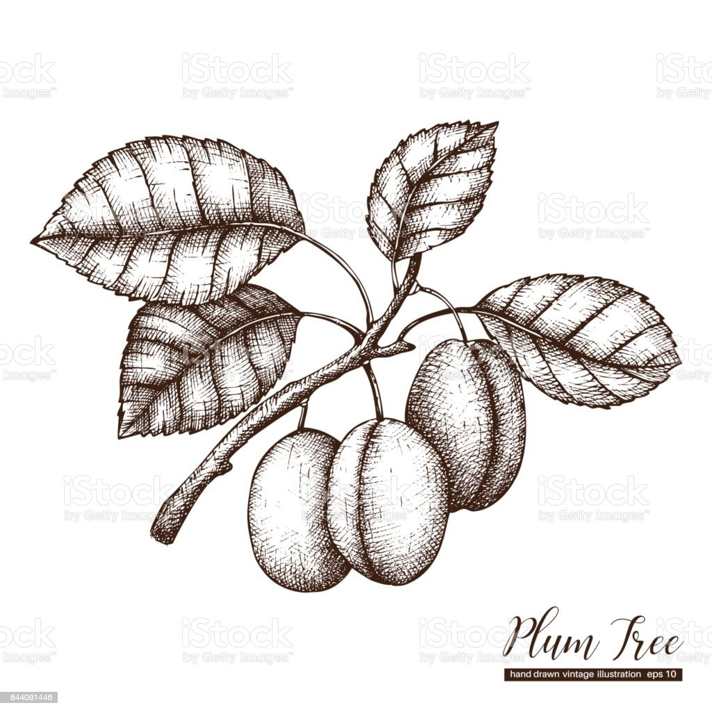 plum tree illustartion vector art illustration