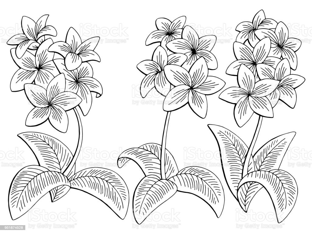 795abcbd8 Plumeria flower graphic black white isolated sketch set illustration vector  - Illustration .