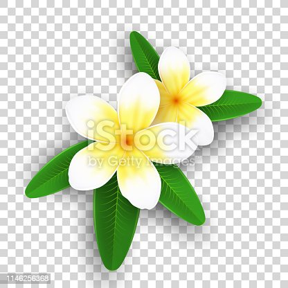 Plumeria flowers isolated on transparent background. Realistic tropical flowers. Set of plants. Summer collection. Realistic graphic elements for your design. Vector illustration.
