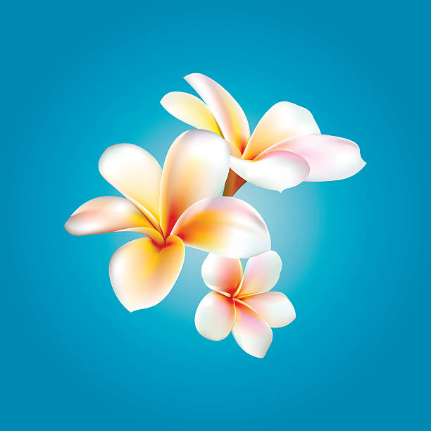 Plumeria. Vector flower Plumeria. Vector flower illustration eps jpg 3d frangipani stock illustrations