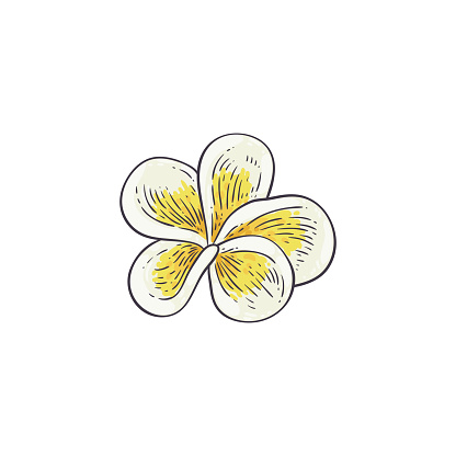 Plumeria vector illustration in sketch style - beautiful white and yellow open frangipani bloom.