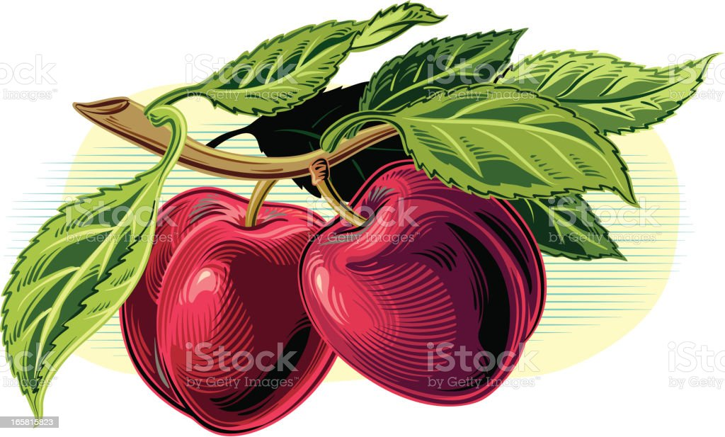 plums on a branch vector art illustration