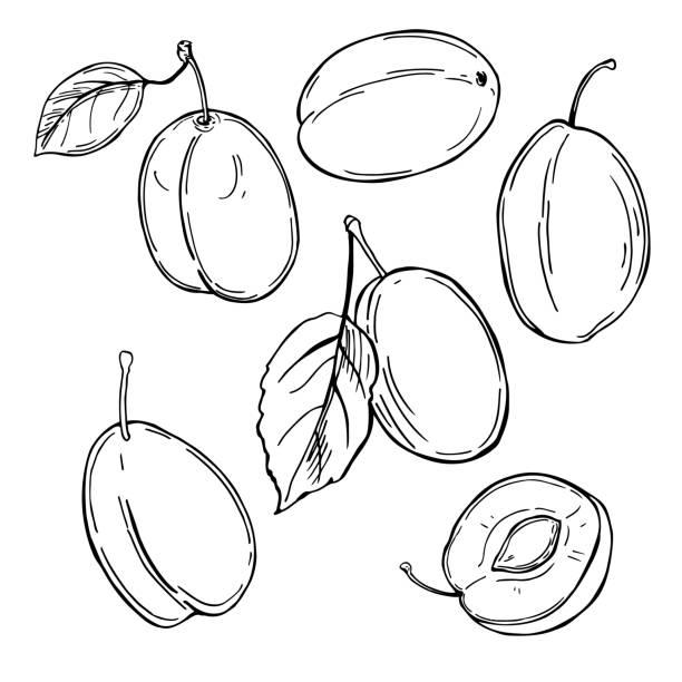 ilustrações de stock, clip art, desenhos animados e ícones de plums on white background. vector  illustration. - natureza close up