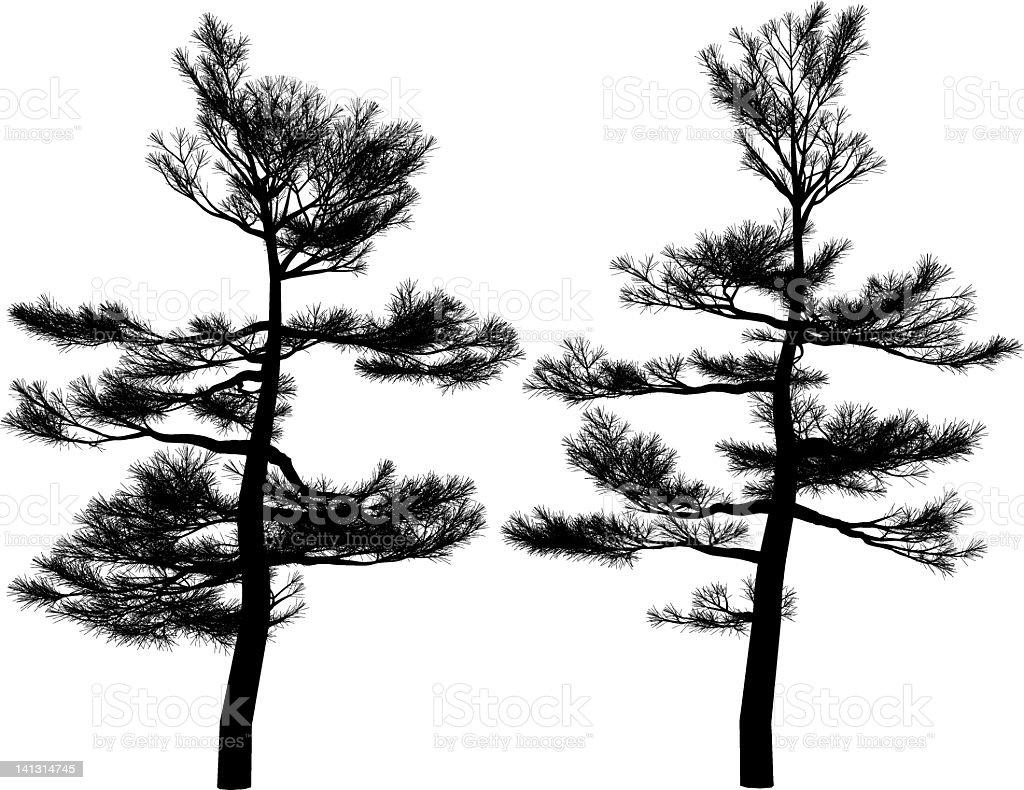 Podocarpus nagi royalty-free stock vector art