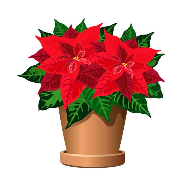 stockillustraties, clipart, cartoons en iconen met poinsettia plant in pot, vectorillustratie. - kerstster