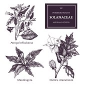 Vector collection of hand drawn nightshade family plants illustration - Thorn apple, Belladonna and Mandrake.