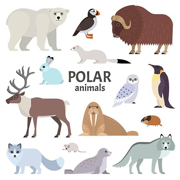 Polar animals Vector collection of polar animals and birds, including polar bear, musk ox, seal, walrus, wolf, polar fox, reindeer, penguin and ermine, isolated on white. arctic stock illustrations