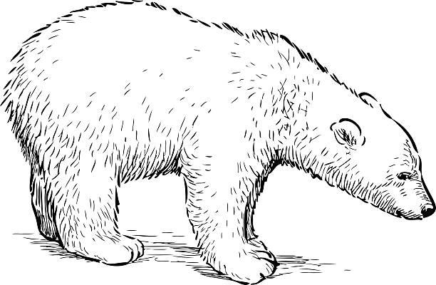 Bear black and white polar bear clip art black and white free clipart -  WikiClipArt