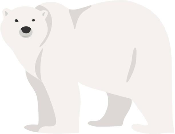 Polar bear hand drawn illustration, flat style vector art illustration
