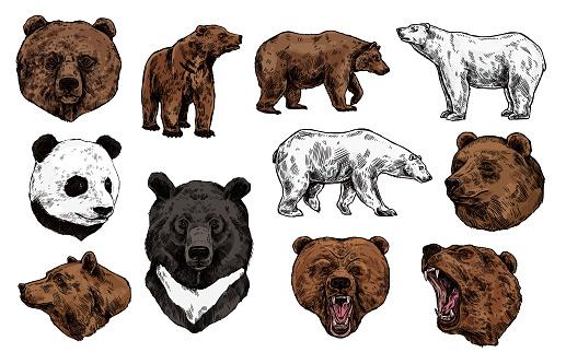 Polar, brown bear, grizzly and panda sketch