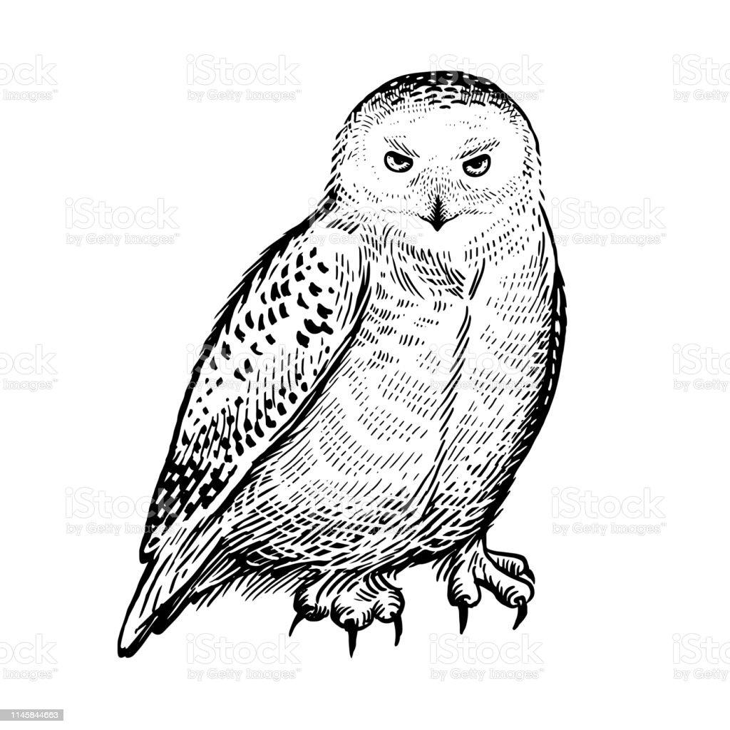 Chouette Polaire Oiseau Forestier Prédateur Croquis De