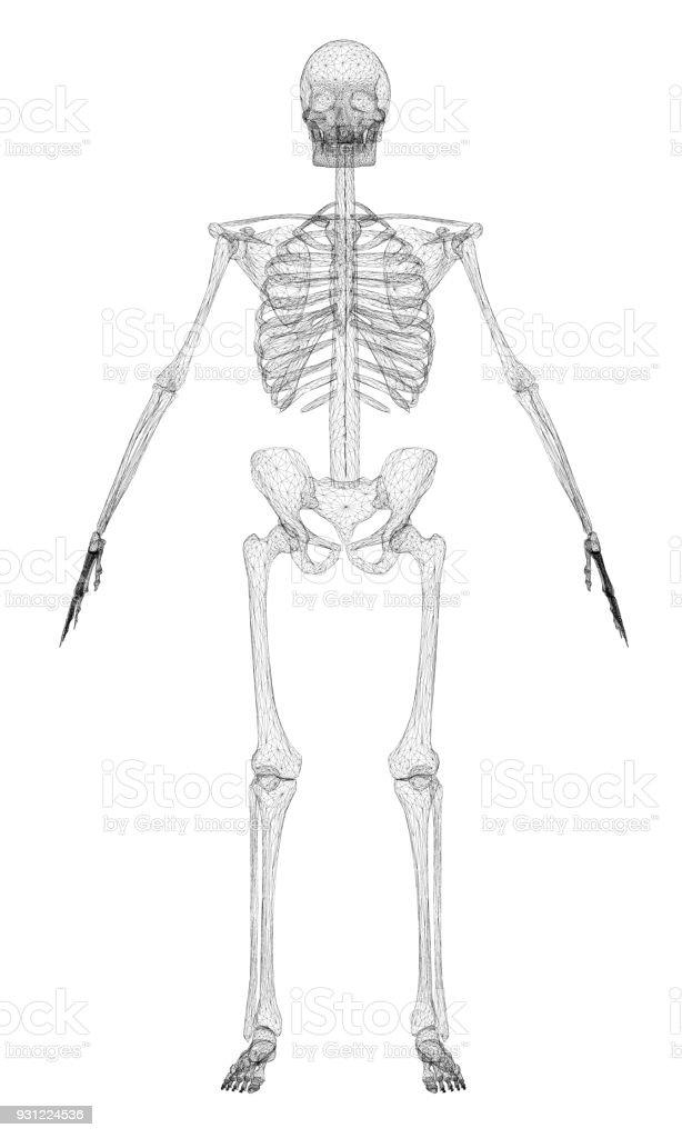 Polygonale Menschliches Skelett Stock Vektor Art und mehr Bilder von ...