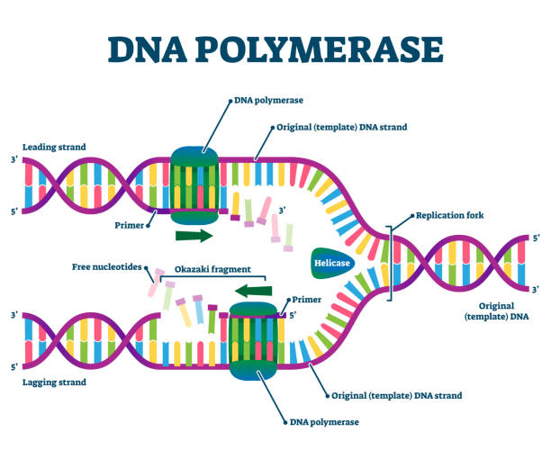 DNA Polymerase enzyme syntheses labeled educational vector illustration. vector art illustration