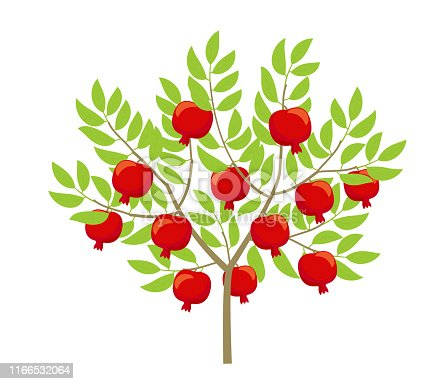 Pomegranate tree. Punica granatum. Granate bush plant. Flat vector color Illustration clipart.