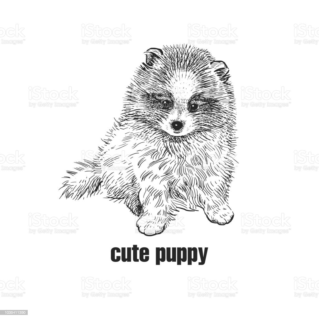 Pomeranian Dog Cute Puppy Black And White Hand Drawing Stock Illustration Download Image Now Istock