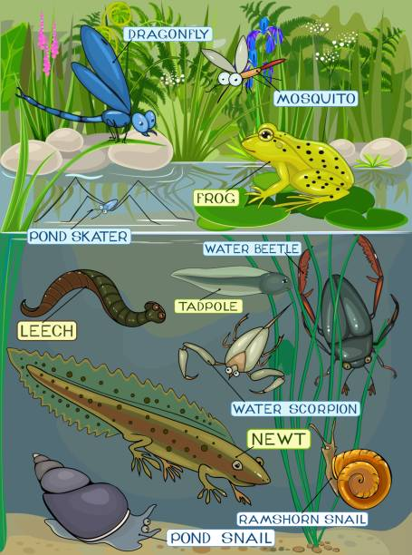 pond ecosystem. different pond inhabitants with title - amphibians stock illustrations